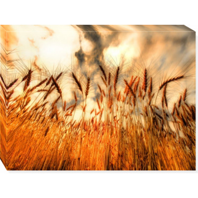 Golden Wheat -  print