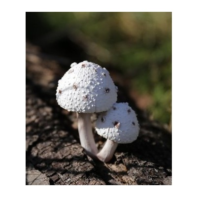 Fairy Garden - Mushrooms Wt with Brown Spots - Small